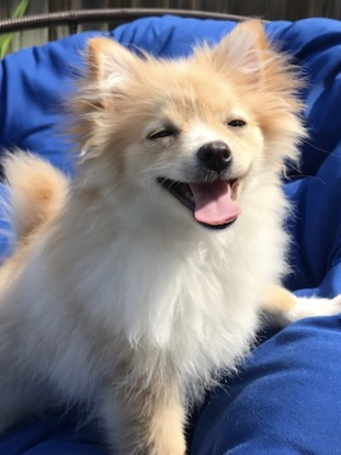 Pomeranian dog adoption